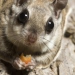 Top 5 secrets of Ohio's Flying Squirrels