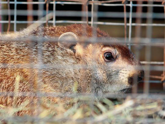 Buckeye Chuck, Ohio's official weather-forecasting groundhog, called for six more weeks of winter during his annual Groundhog Day forecast on Friday at radio station WMRN-AM in Marion. It's the third consecutive year that Chuck has predicted an extended period of wintry weather.